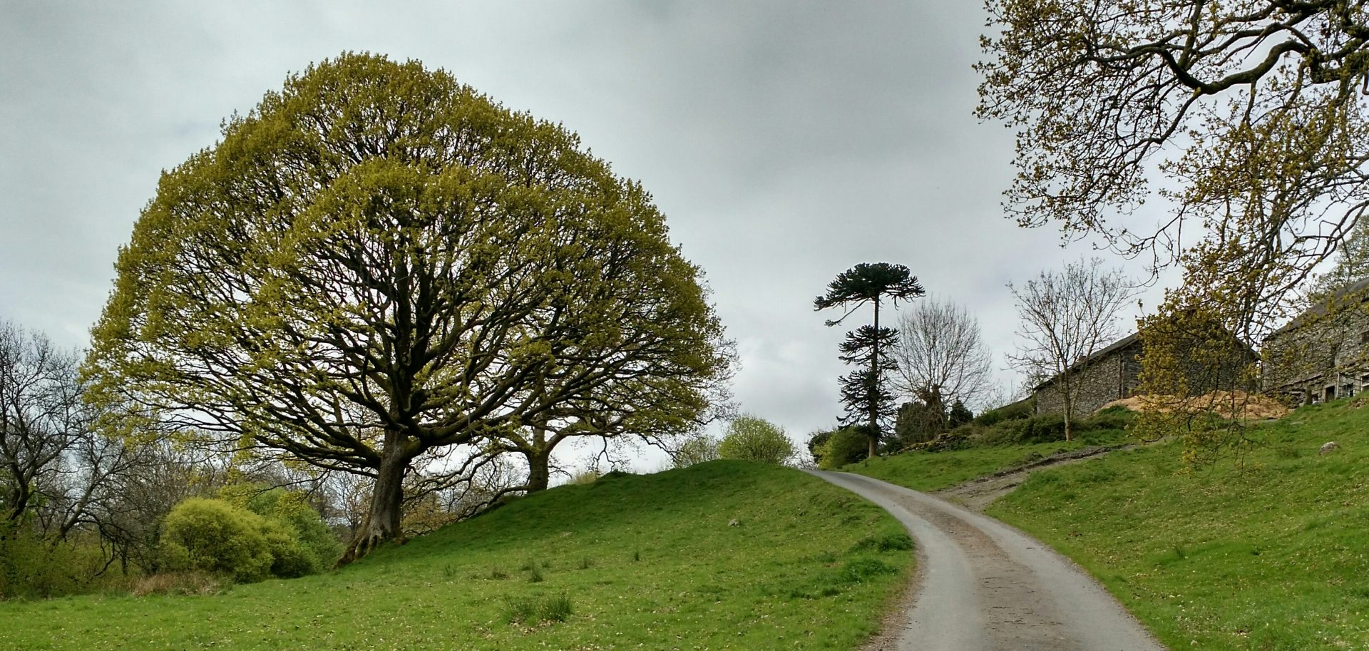 Ulverston Tree