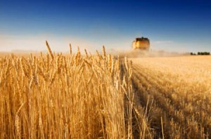 wheat crop celiac
