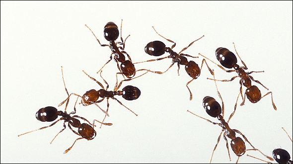 fire ants in florida