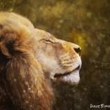 Lion - Dave Simpson Photography