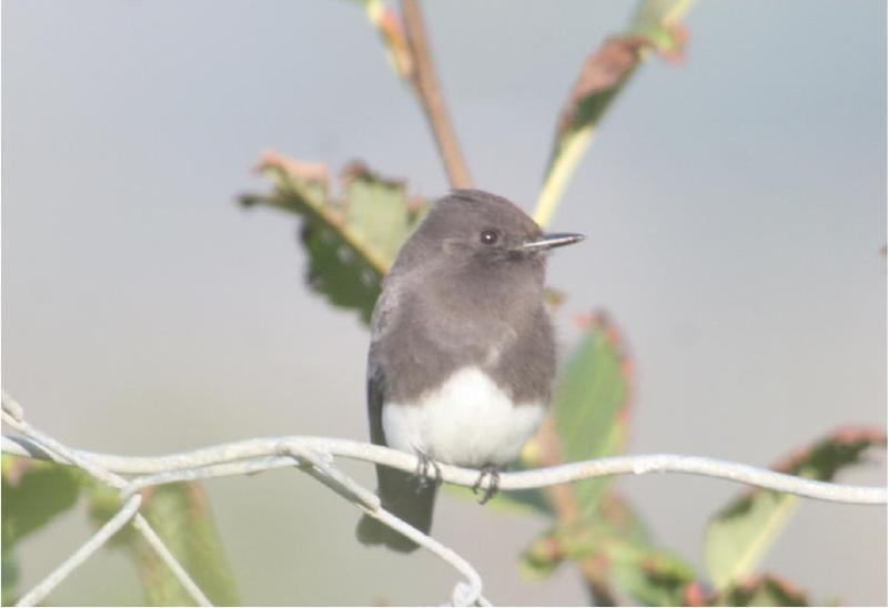 BLACK PHOEBE Perched and surveying the insect world