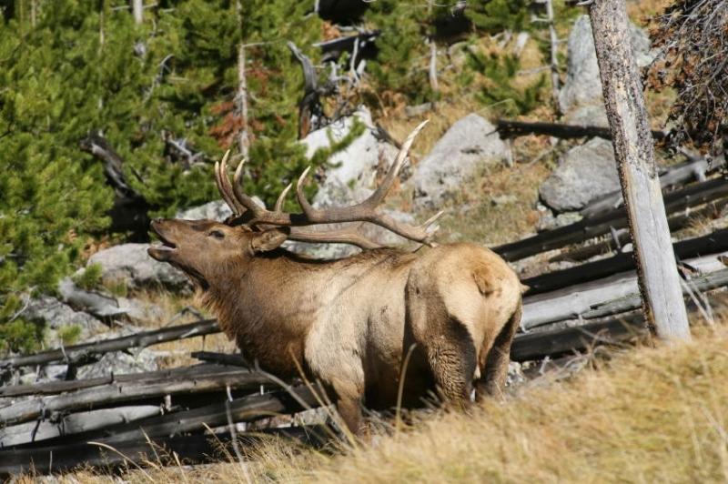 An elk bull in autumn prime