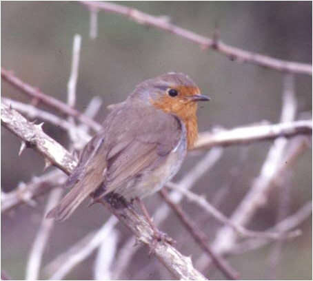 The English Robin – Small and plump