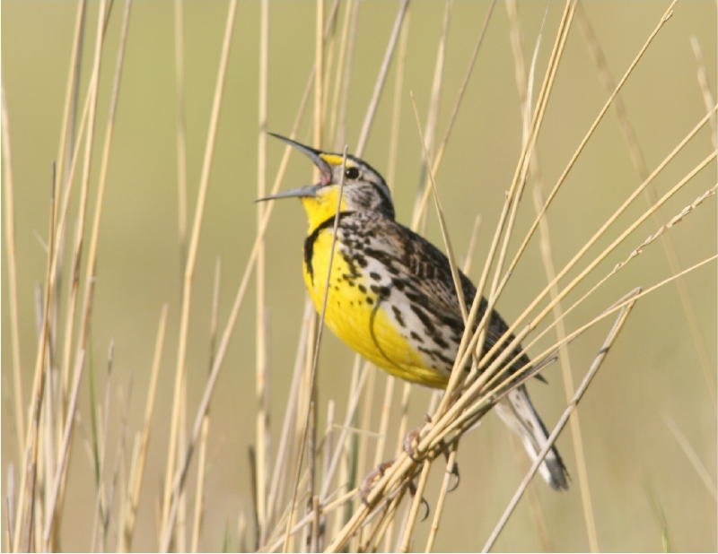 A meadowlark perched in tall grass