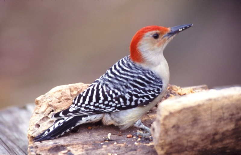 Red-Bellied Woodpecker At our feed trough in the Indiana woods