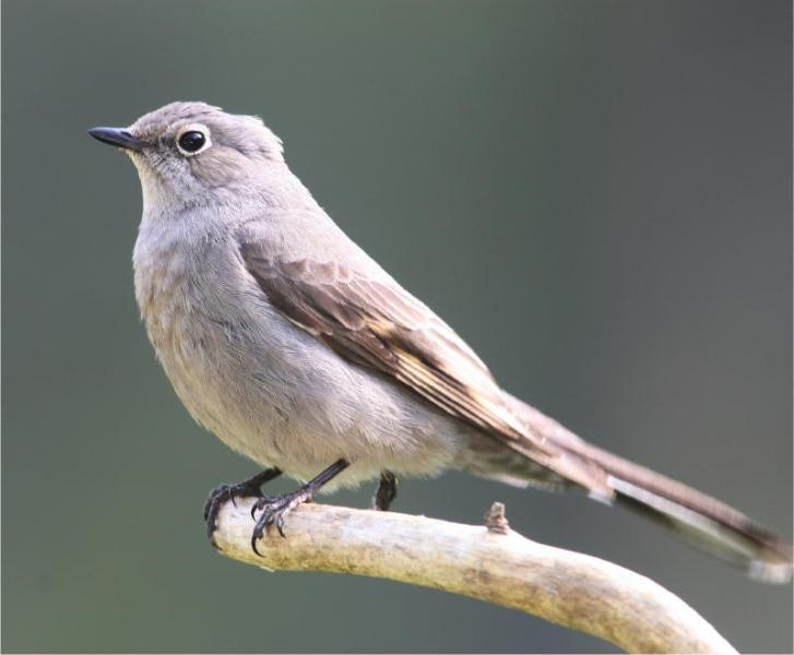 Townsend's Solitaire – notice eye ring and small wing patch