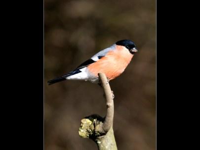 Cock Bullfinch