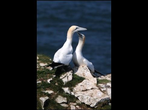 Gannets pairing