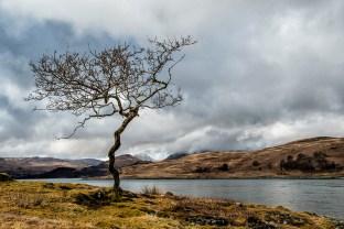 Lone Tree, Isle of Mull