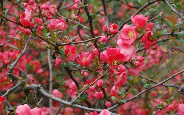 The 21 best plants and flowers for winter garden colour   David Domoney japanese quince shrub pink flowers winter