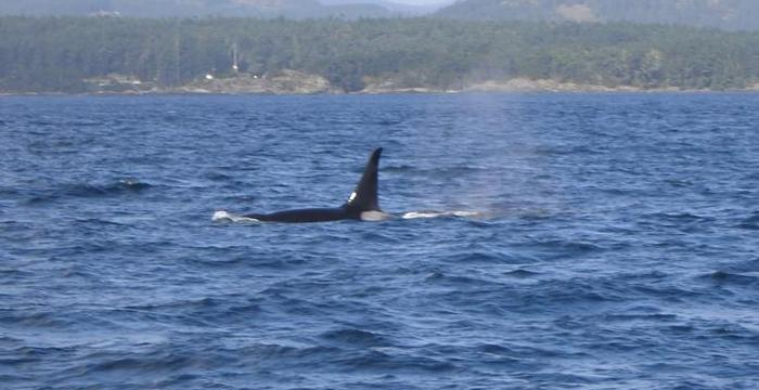 Whale Watching in Victoria, B.C.