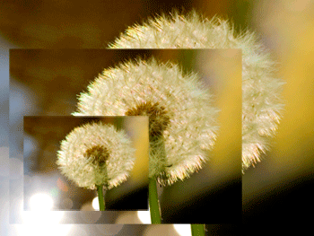 Dandelion pictures superimposed and reduced