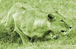Lioness, stalking