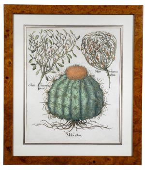 Hand Colored Engraving of a Melocactus by Basiius Besler