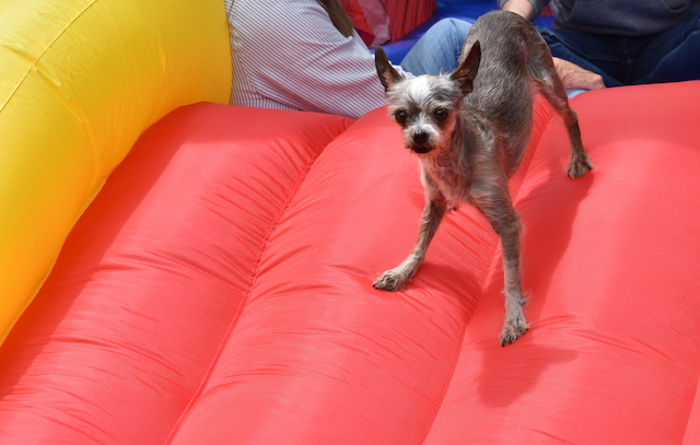 dog wishes he had not jumped onto a bouncy house