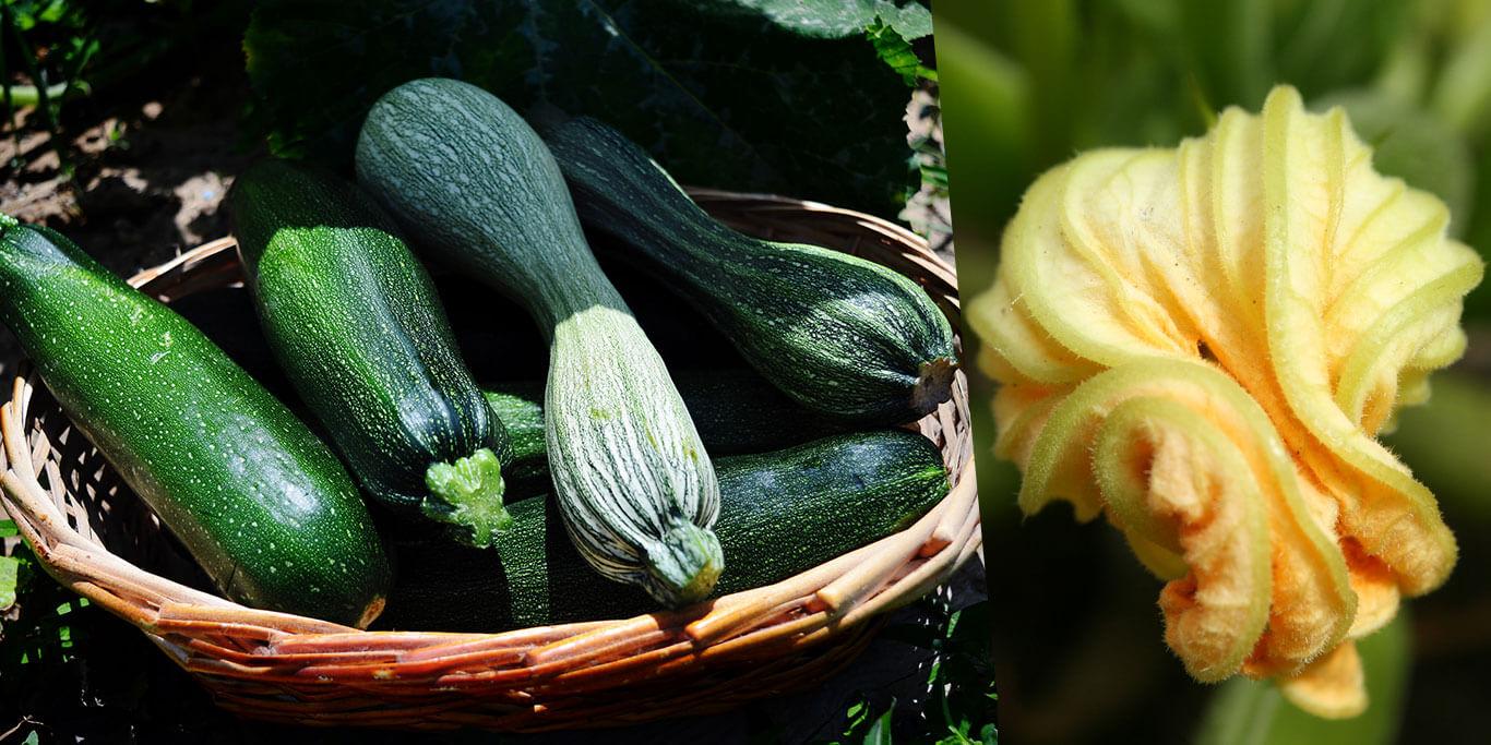 La courgette : bienfaits nutritionnels