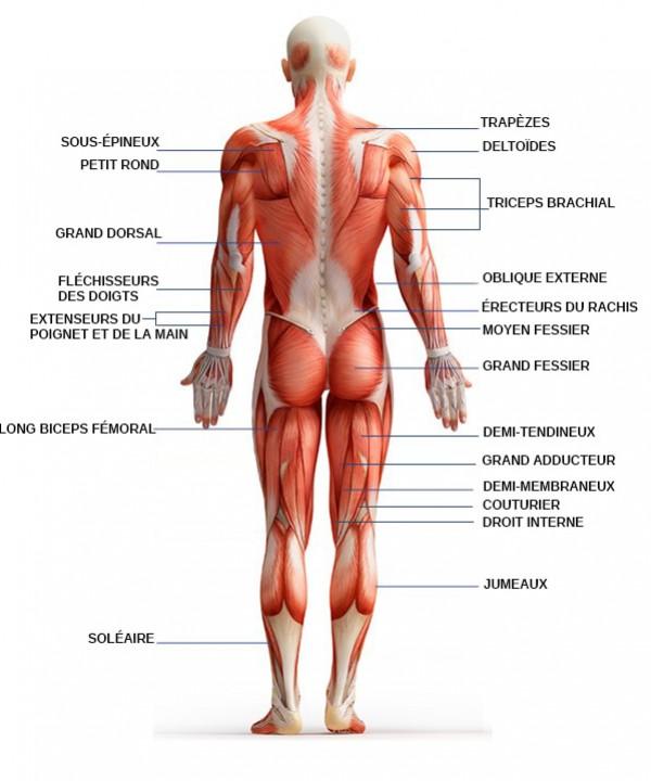 muscles-posterieurs-du-corps