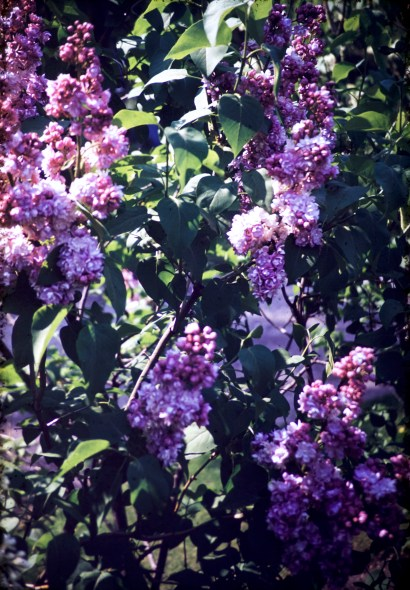 Nature - Pale Lav. dbl Lilac