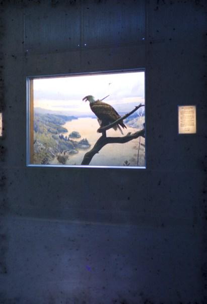 Museum of Natural History, University of Minnesota - Am. Bald Eagle