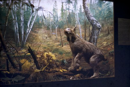 Museum of Natural History, University of Minnesota - Canadian Lynx