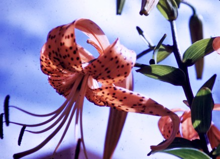 From Our Garden - Tiger Lily