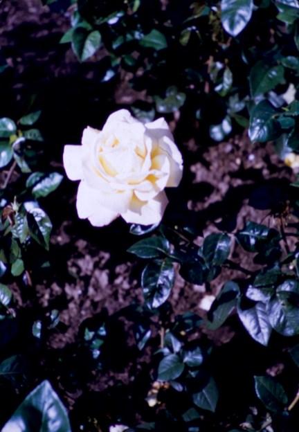 Lake Harriet Rose Garden - Peace