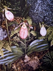 Minnesota - Lady Slipper