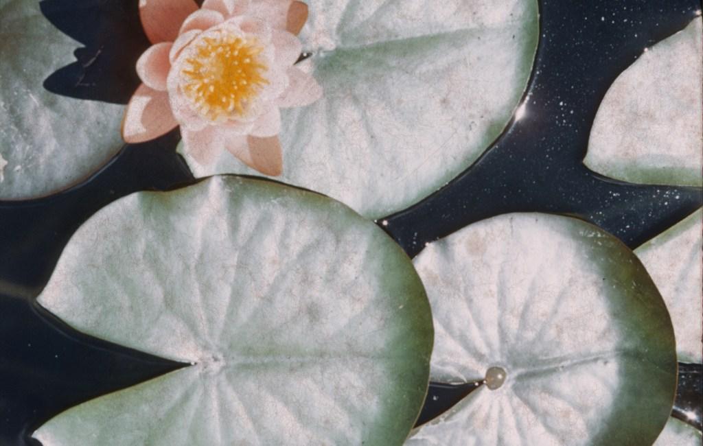 Summer – Water Lilies – Fireman's Park, Hutchinson, MN