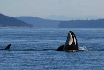 Davis Vets Dedicated to Whale Health