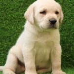 Labrador Retriever For Sale Puppy For Sale Near Me Dav Pet Lovers