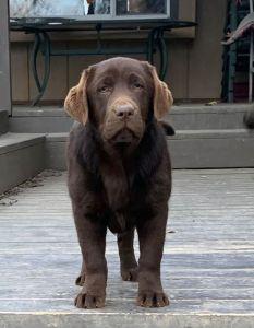 kona 233x300 - Female English Labradors in Missouri