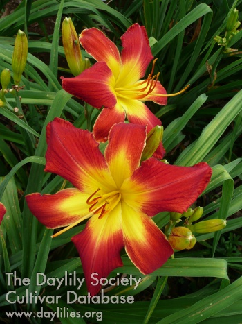 daylily all american chief
