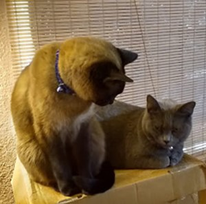 Taffy (Siamese) and Tessa