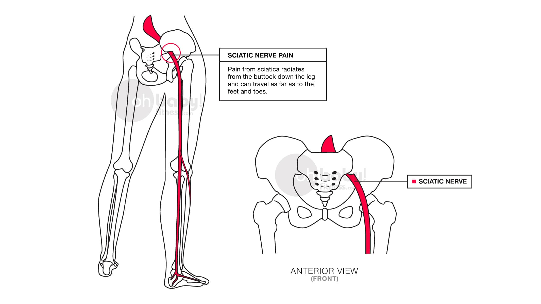 What Is The Sciatic Nerve