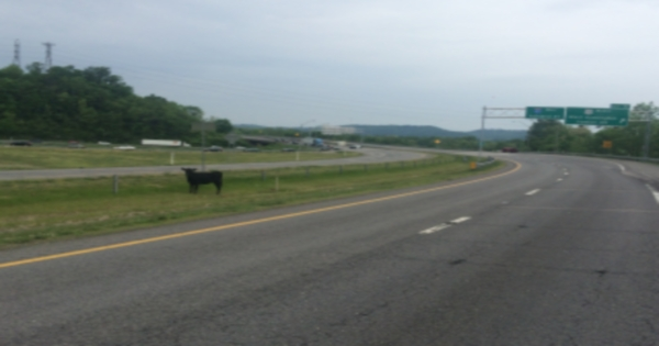 My cow closed down I-80 in Iowa