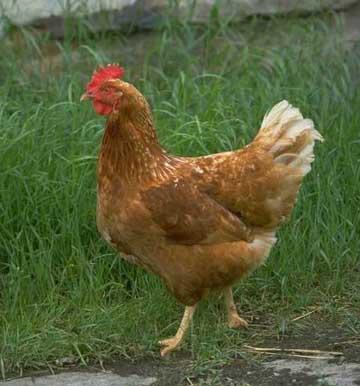 Chicken - Free Rangin'