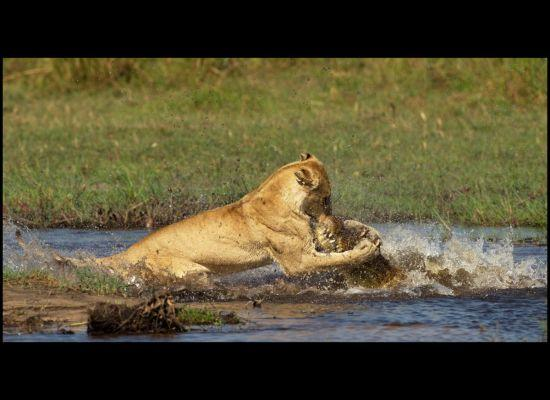 Lioness Attacks Crocodile: Caught In Stunning Photos