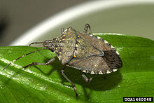 Heat Wave May Be Stink Bugs Worst Nightmare
