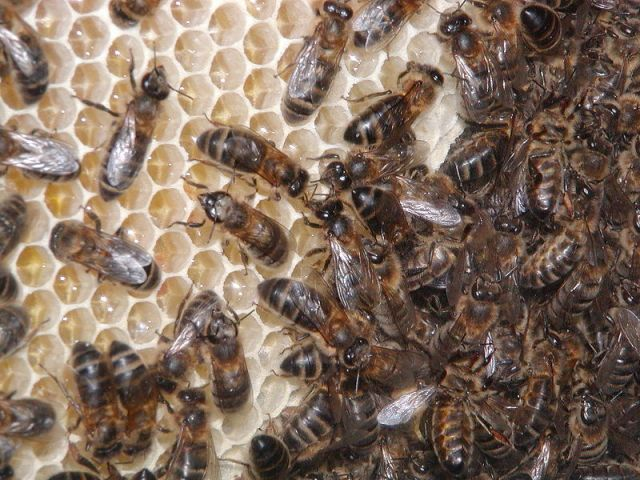 "Bees Seized in Queens: Police Find ""Millions"" Of Bees In Mans Backyard"