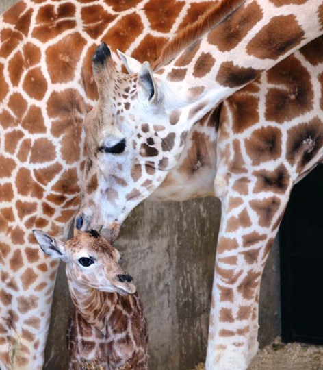 Rare Giraffe Born At LEO Zoological Conservation Center