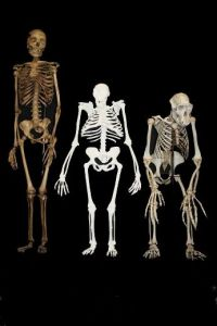 2-Million-Year-Old Creature Discovered: Australopithecus Sediba Has Mix Of Human And Ape Traites