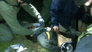 Dzokhar Tsarnaev, the 19-year-old suspect wanted in connection with the Boston Marathon bombings, on the ground after being arrested in a Boston suburb. (Courtesy of CBS News)