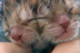 Two-faced Kitten Born:  Expected To Survive