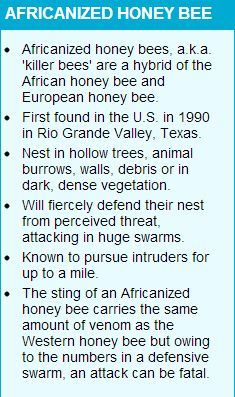 Africanized honey bees, a.k.a. 'killer bees' are a hybrid of the African honey bee and European honey bee.  First found in the U.S. in 1990 in Rio Grande Valley, Texas. Nest in hollow trees, animal burrows, walls, debris or in dark, dense vegetation.  Will fiercely defend their nest from perceived threat, attacking in huge swarms. Known to pursue intruders for up to a mile. The sting of an Africanized honey bee carries the same amount of venom as the Western honey bee but owing to the numbers in a defensive swarm, an attack can be fatal.