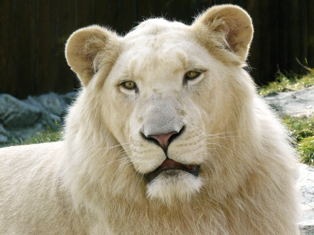 White Lion Cost 138 000 Incredibly Expensive Pets Dbtechno