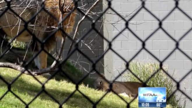 Lion kills lioness At Zoo As Families Watch In Horror