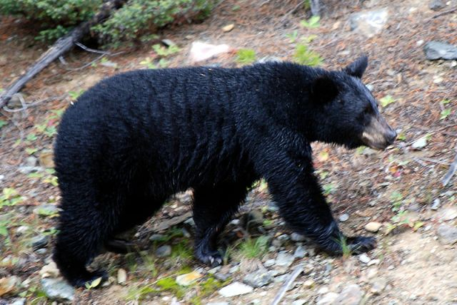 bears drag woman:  Woman Dragged By Bear Protecting Cubs