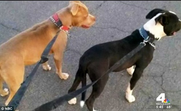 woman stabs two pit bulls 4