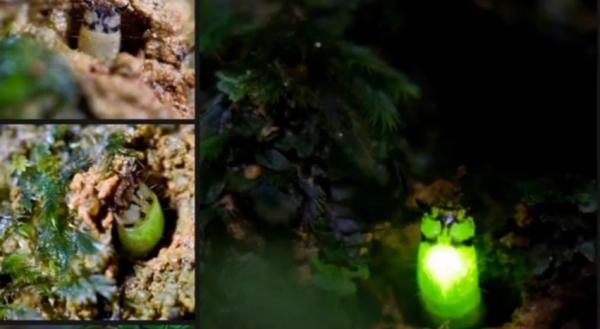 peruvian-glow-worm