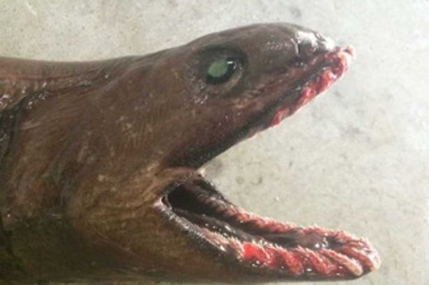 Frilled shark captured:  Rare Terrifying Shark Captured